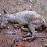 Чупакабра — зловещий истребитель коз