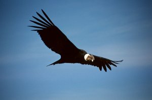 Гигантские птицы над США